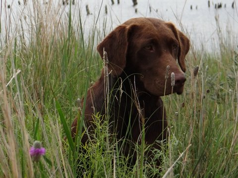 AKC registered chocolate labrador retrievers in Nebraska