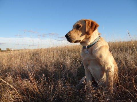Nebraskas Sandhills Yellow Labrador Retrievers