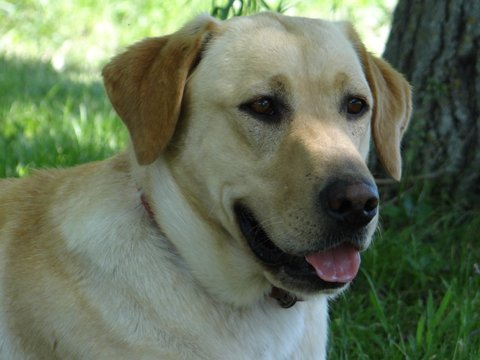 Nebraska Yellow Labrador Retrievers for Sale