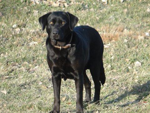 Nebraska AKC Labrador Retrievers