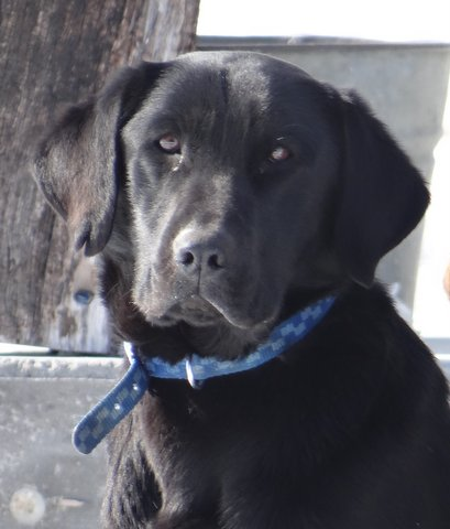 Nebraska Black Labrador Retriever Breeder