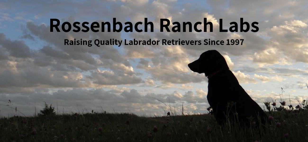 Nebraska Yellow Black and Chocolate Labrador Retriever Puppies Rossenbach Ranch Labs