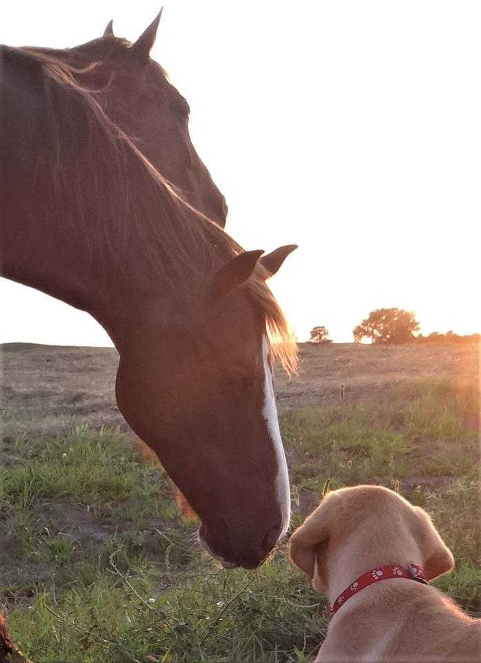 Nebraska Labrador Retriever Puppies for sale in Nebraska Ranch Raised