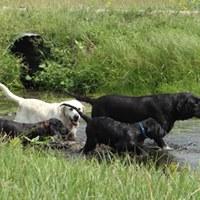 Nebraska Lab Puppies for sale in Nebraska Labrador Retriever River Water Hunting