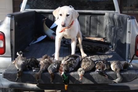 Hunting Labs for Sale in Nebraska