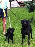 Family Puppy for Sale in Nebraska Labrador Retriever